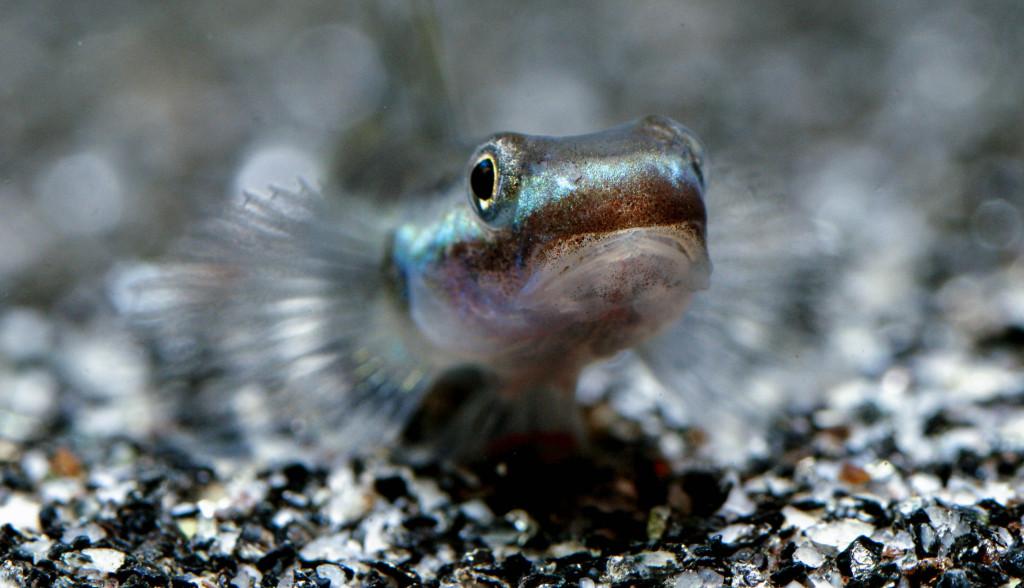 Stiphodon-atropurpureus